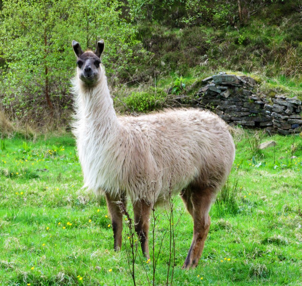 Ealees Valley Littleborough - Llama